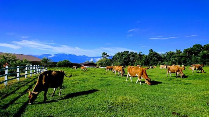 八ヶ岳ジャージー牛