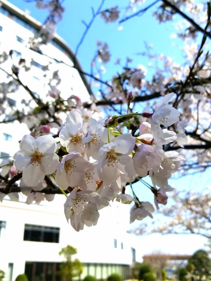 Sakura20180325